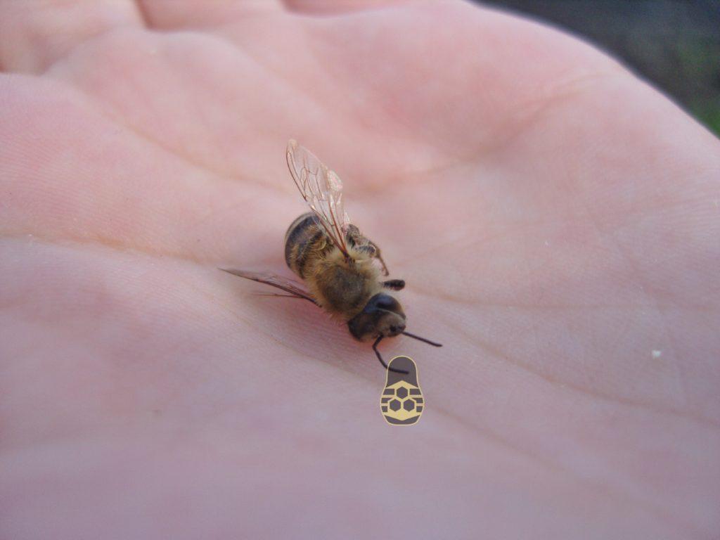 пчела может ужалить только один раз