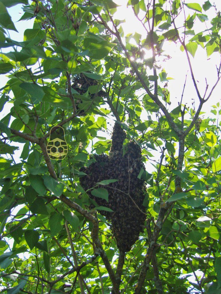 отроившиеся семья пчёл
