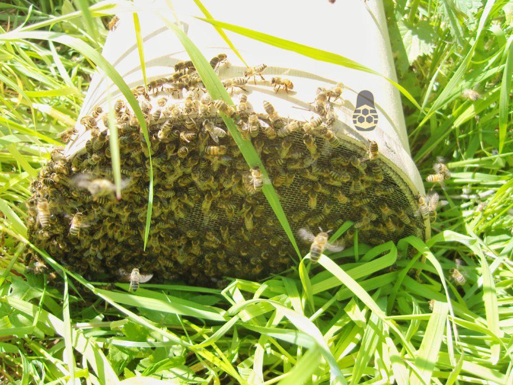 пойманный рой пчёл