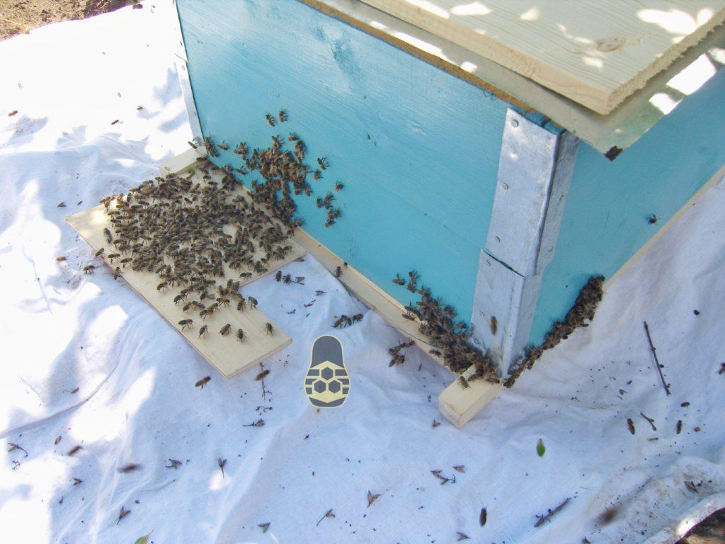 пчёлы заселяются в новый дом