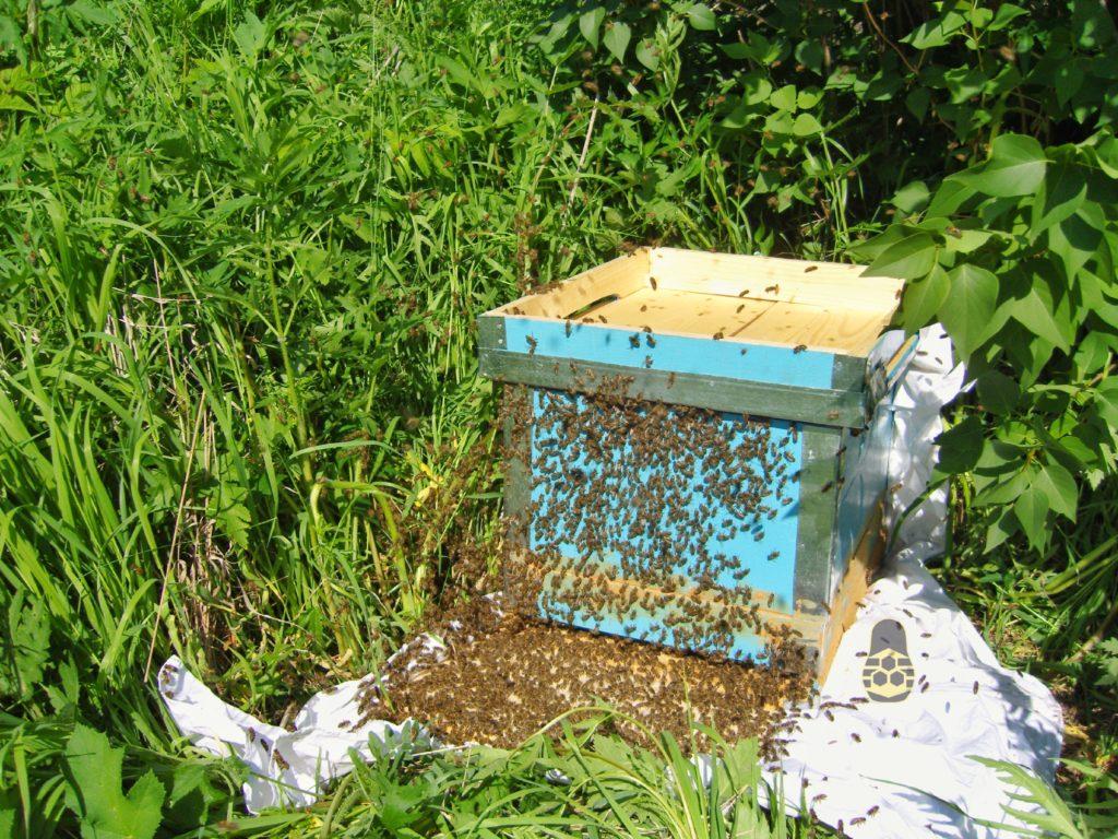 пчёлы обследуют новый домик
