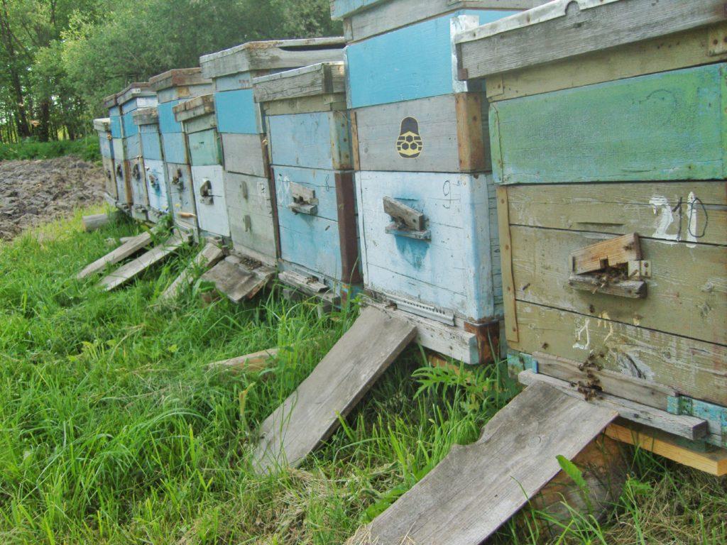 первые пчелиные семьи